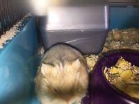 Dwarf hamster 5 months old