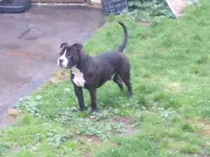 American bulldog male looking for new home