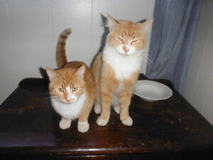 Two Male Farm Cats