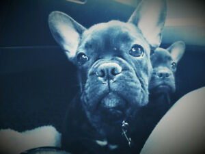 Trained Championline Male French bulldog puppy