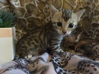 Two stunning gold rosetted Bengal kittens for sale- includes extras and pet carrier.
