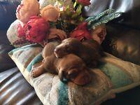 Stunning chocolate minature dachsund pups
