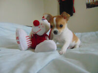 Chihuahua tea cups size puppy