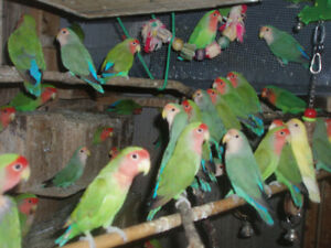 LOVEBIRDS FOR SALE BABIES (READY TO HAND FEE) London Ontario image 4