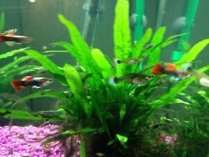 Lots of guppies! Strathcona County Edmonton Area image 3