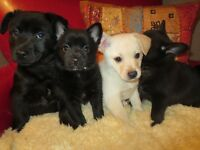 READY TO GO!!! pb Schipperke/Chihuahua X puppies...