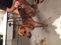 Found Dog - Male Lab Mixed Breed