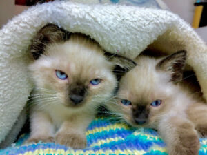 Two Beautiful Siamese babies (Chocolate point)