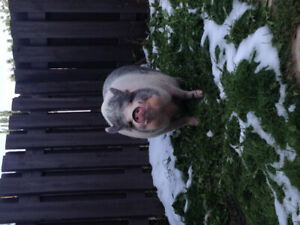 Looking for female companion for pet pig
