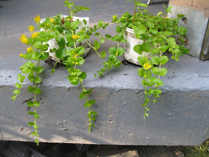LARGE CREEPING JENNY STARTERS ... BASKETS OR GROUND COVER