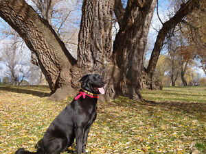 Female 9 years Lab needs new home on country farm