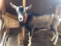 Starter goat herd for sale