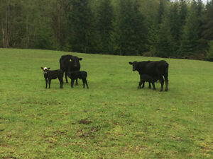 Angus & Hereford calves $2/lb