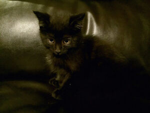 Free Black Kittens Can Deliver to Edmonton Dec 3