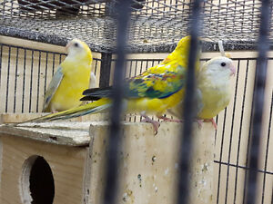 Red Rump Parakeets