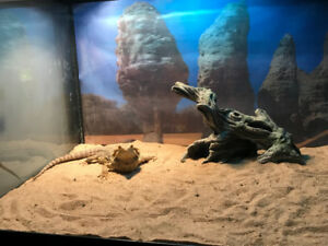 Bearded Dragon, Cage, lights and stand