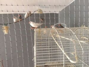 Finches for free to good home