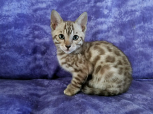 Purebred Registered Snow bengals available
