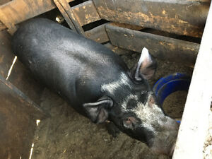 Berkshire boar and bred sow pair