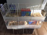 Guinea pig and double C&C cage for sale