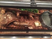 Blue tongue skink & accessories