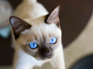 Looking for a kitten with blue eyes