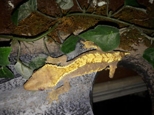3 yr old female crested gecko