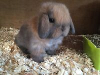 Mini lops for sale