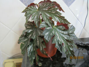 Elephant Ears/Angel Wing Begonia Plant