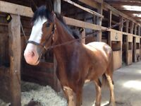 Registered Clydesdale For Sale