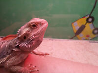 Male bearded dragon with everything