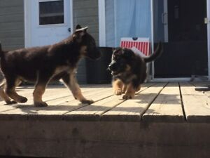 German Shepherd Puppies\Berger Allemand Chiots