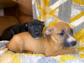 Staffordshire bull terrier puppies 1M 1F