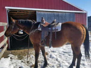 17 year old Quarter Horse Gelding