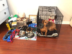 Dachshund (mixbreed) for rehoming