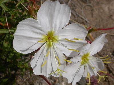 """Weiße Nachtkerze Oenothera pallida 50 Samen """"ALLES NUR 1 EURO"""""""