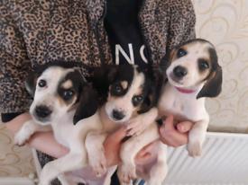 Beautiful beagle x cocker spaniel puppies
