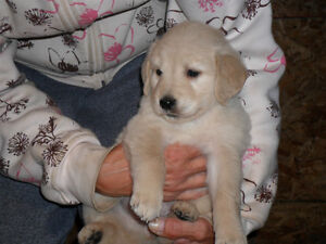 Golden Retriever Puppies Oshawa / Durham Region Toronto (GTA) image 5