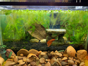 Aquarium plant - floating dwarf water lettuce
