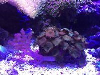 Marine reef coral (fish aquarium tan)