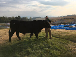Black Angus 3 year old Bull, halter trained