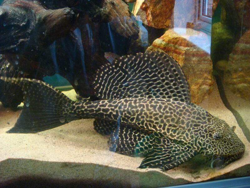Cichlid Fish For Sale Cichlid Fish For Sale