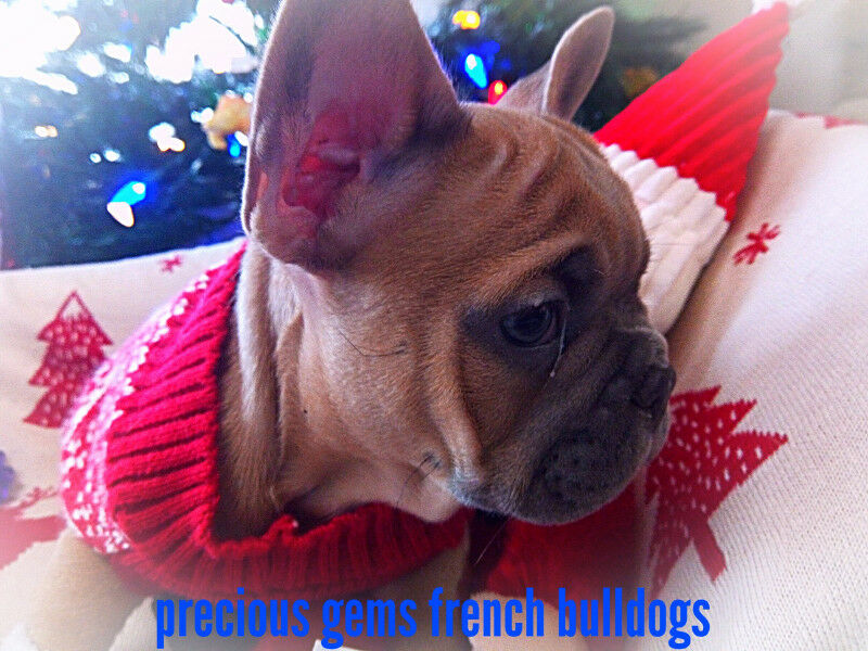 CKC Registered Quality Blue French Bulldog Puppies HIGH ...