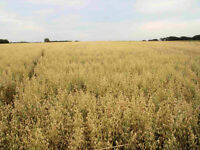 greenfeed oats bales forsale!