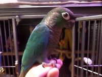 Turquoise Green Cheeked Conure Chick