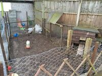 Chicken coop and enclosure and feeders and drinkers