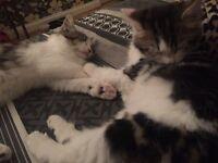 Maine coon x kitten