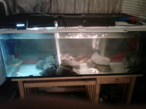 Red belly piranha tank setup with breeding pair 500 OBO
