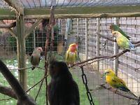 Lovebirds £20 each 2x pairs and single female Aviary Birds