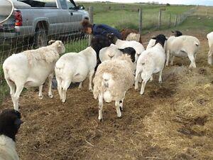 Sheep - Yearling Dorper Rams and Ram Lambs Regina Regina Area image 2